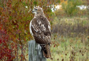 Hawk_Red-Tailed_adult14